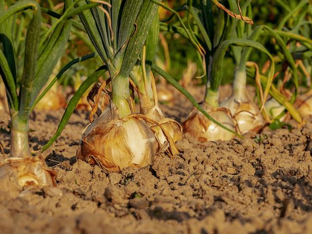 もうすぐ玉ねぎの収穫ができるかな?